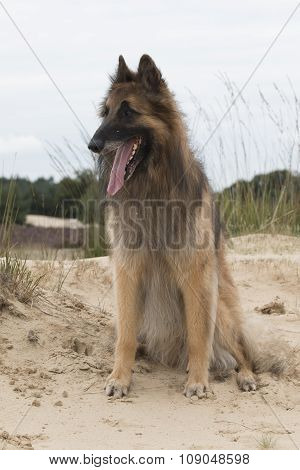 Dog, Belgian Shepherd Tervuren, Looking Out Over Dunes