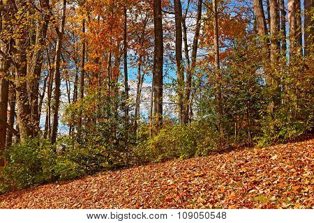 Fallen leaves and tall deciduous trees in autumn.