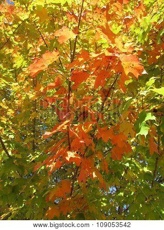 Maple Starting to Change