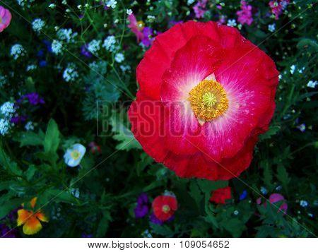 Red poppy in a field of wildflowers