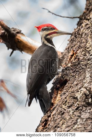 Pileated Woodpecker on a white pine foraging for breakfast.