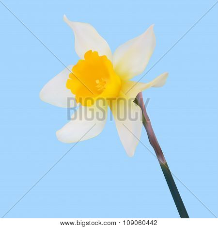 Yellow Jonquil Flower