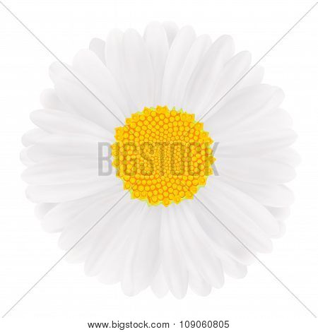 White Gerbera, Flower.