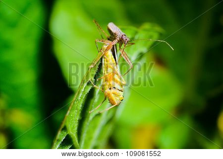 Bug Caught Grasshoppers
