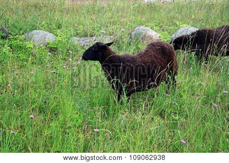 The Dark Woolly Sheep