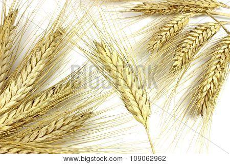 Dried Ears Of Rye