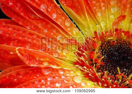 Orange Gerbera On Black