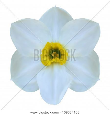 Illustration Jonquil Flower Isolated