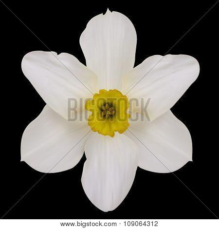 Jonquil Flower.