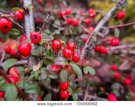 Autumn, Colorful Fruit, Berries On The Bushes,