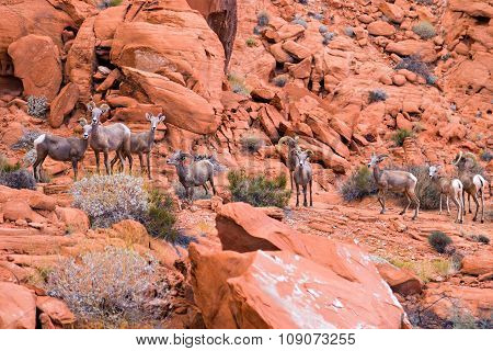 Desert Big Horn Sheep In Valley Of Fire State Park, Nevada