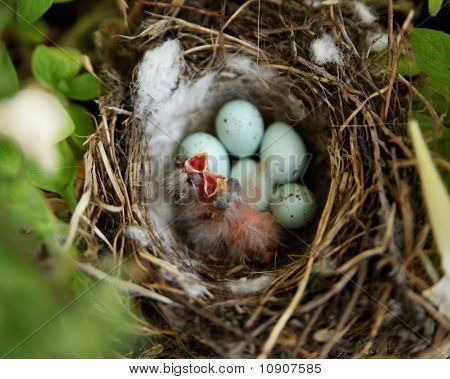 Just Hatched Baby Birds