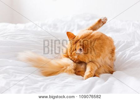 Ginger Cat Licking, Lying On The Bed. Cute Cozy Background, Morning Bedtime At Home.