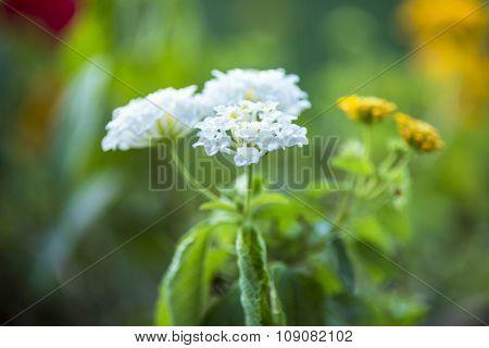 beautiful white flowers of chrysanthemum on green background