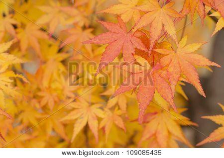 Japanese Maple Leaves Background