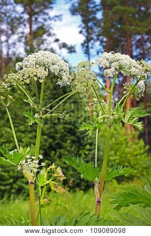 Wild-growing medicinal plant of Siberian cow parsnip (Heracleum sibiricum)