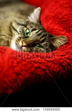Super comfortable cat on soft red blanket