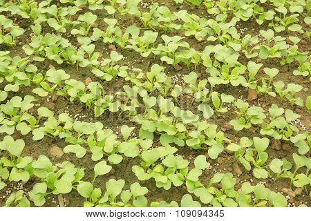 green raddish sprouts in growth at garden