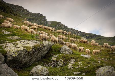 Flock of sheep in a meadow in the mountains