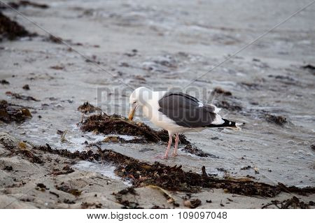 Forraging Seagull