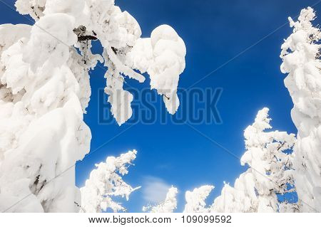 Snow Covered Trees In Winter Forest After Snowfall.
