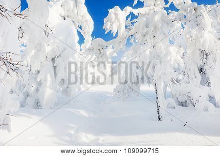Snow Covered Trees In Winter Forest After Snowfall