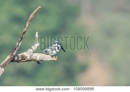 Pied Kingfisher Perched