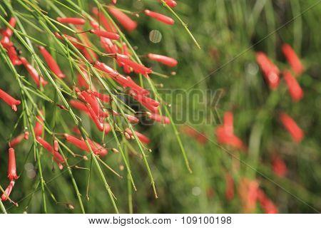 Firecracker plant, Russelia equisetiformis