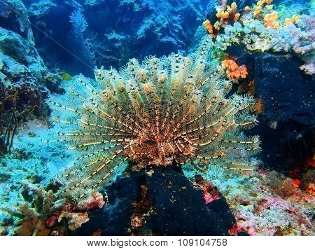 Crinoid, Island Bali, Pemuteran