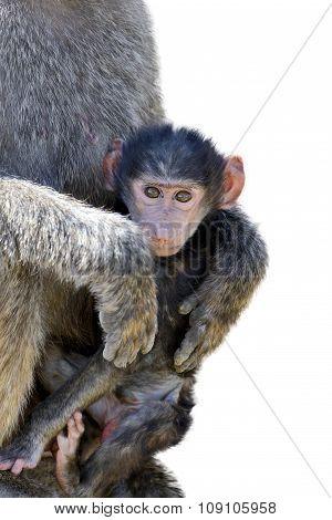 Baby Monkey Baboon