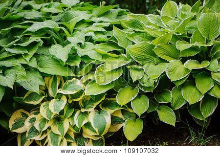 various multicolored host in summer garden great plant for shady spots with decorative foliage