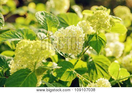Hydrangea Paniculata Bush In Summer Garden