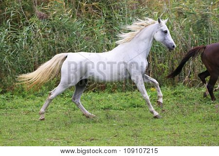 Purebred Arabian Mare Canter On Meadow Summer Time