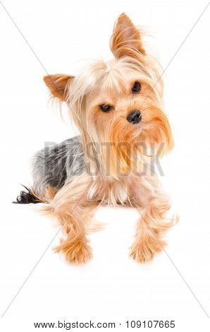 Portrait of a curious Yorkshire terrier