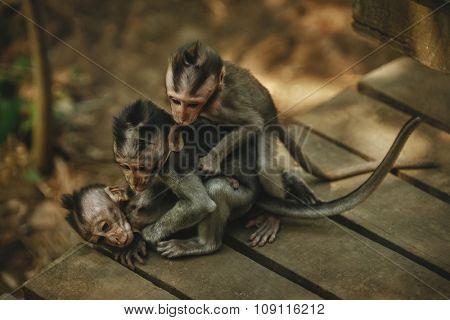 Family of three little monkeys