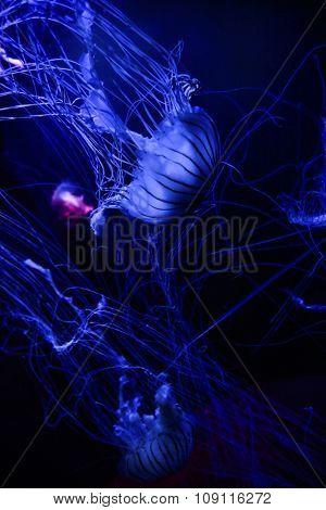 Jellyfishes on dark blue background