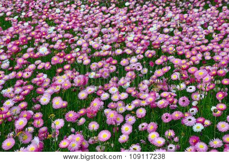 Pink Paper Daisies: King's Park, Western Australia