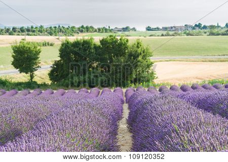 Lavender summer  field