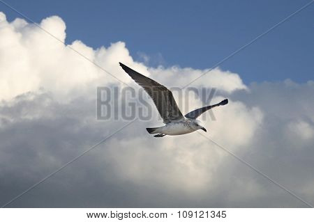 Seagull Over Cloudy Blue Sky