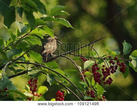 Starling on a branch of a red bird cherry.