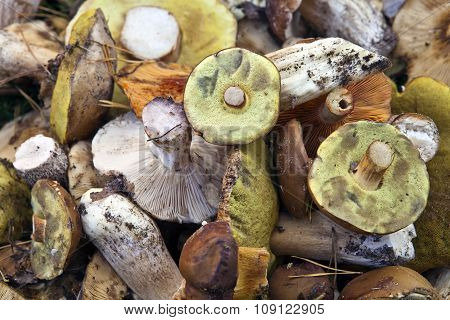 Many Wild Mushrooms