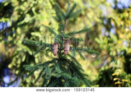 Spruce With Needles And Cones