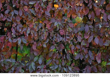 Hedge With Leaves Changing Color