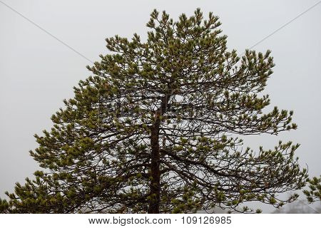 Pine Tree In Autumn. Latvia, Northern Europe