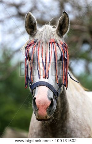 Head Shot Of A Purebred Arabian Mare In The Corral