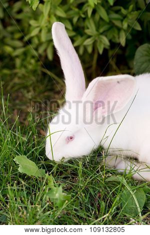 Funny white rabbit walking in grass.
