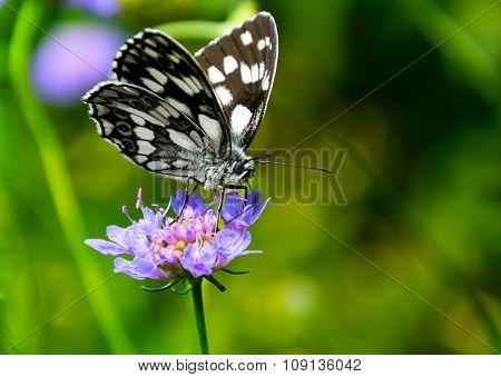 Tropical Checkered-Skipper (pyrgus oileus)