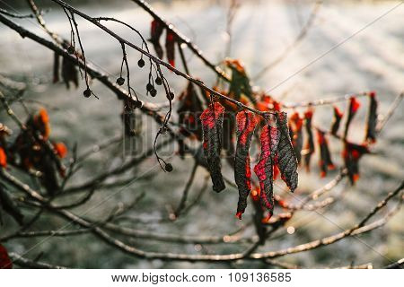 Red leaves in a frozen autumn morning