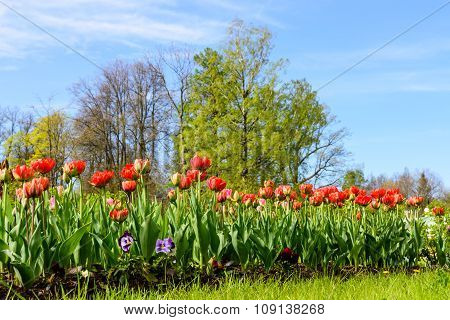 Bright blooming tulips