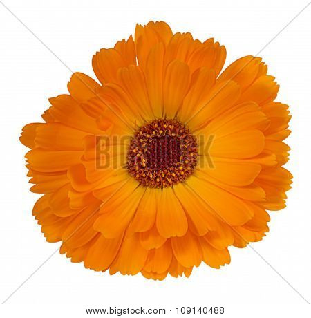 Flower Calendula